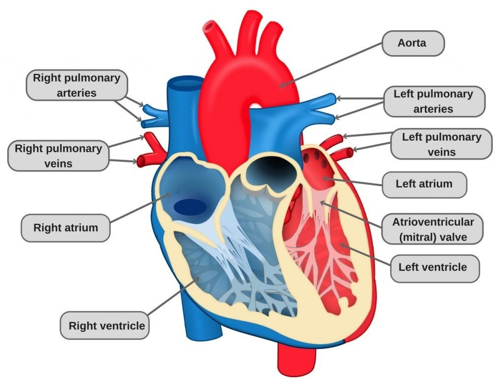 Heart diagram parts