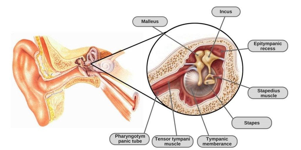 tensor tympani muscle