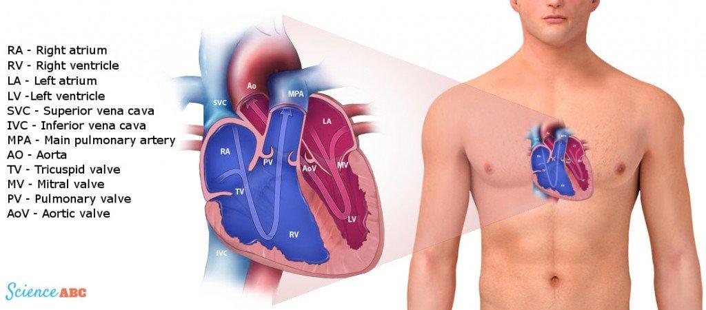 Heart in Human Body