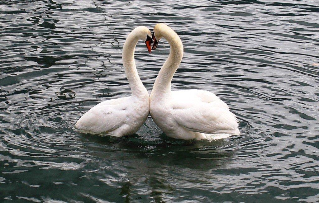 Swans love in lake