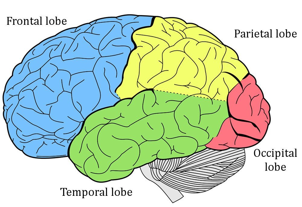 Brain & its different lobe