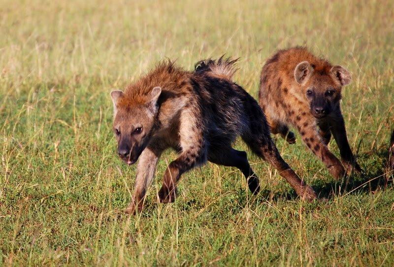 Hyenas giggling