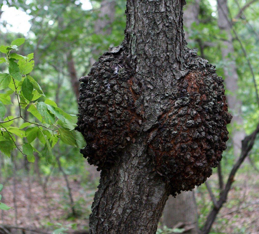 Black knot on tree
