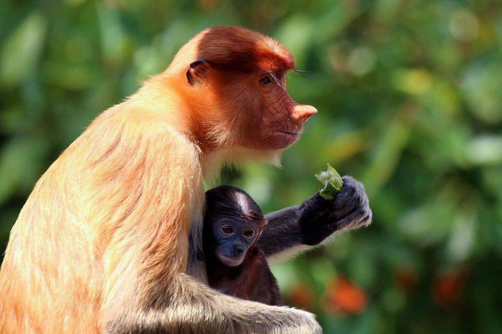 Fruit eating Proboscis monkey