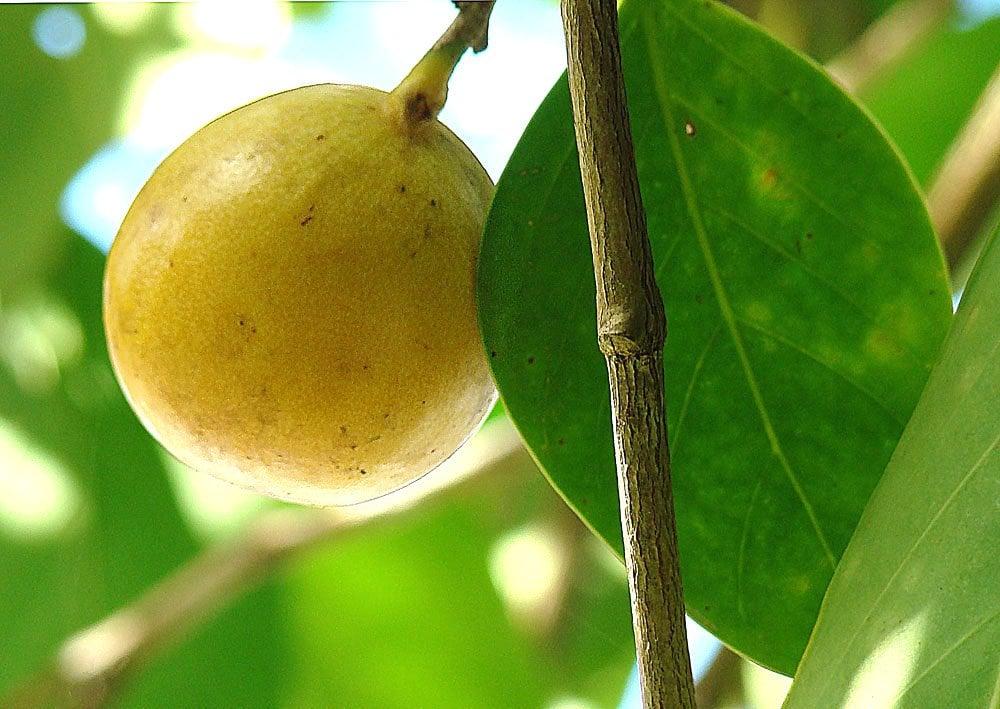 Hippomane mancinella, the Death Apple