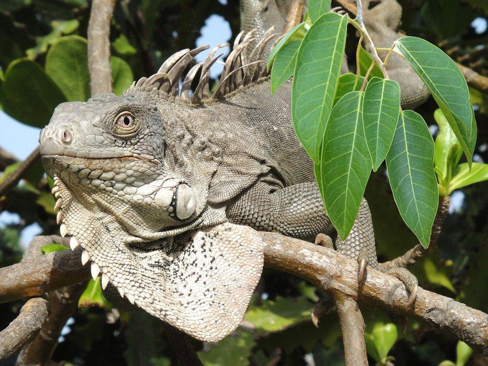 Iguana on manchineel tree