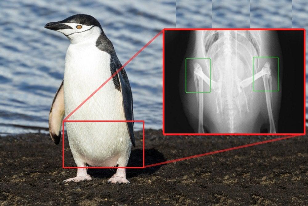 Penguin knee x-ray