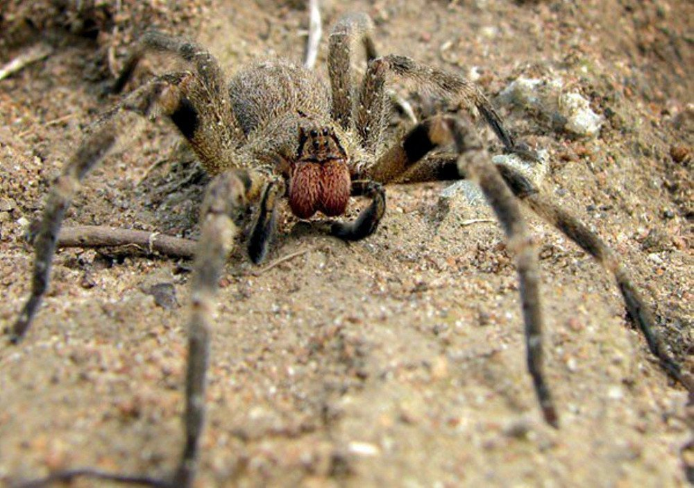 , Brazilian Wandering Spider (Phoneutria): Bite, Attacks And Other Facts, Science ABC, Science ABC