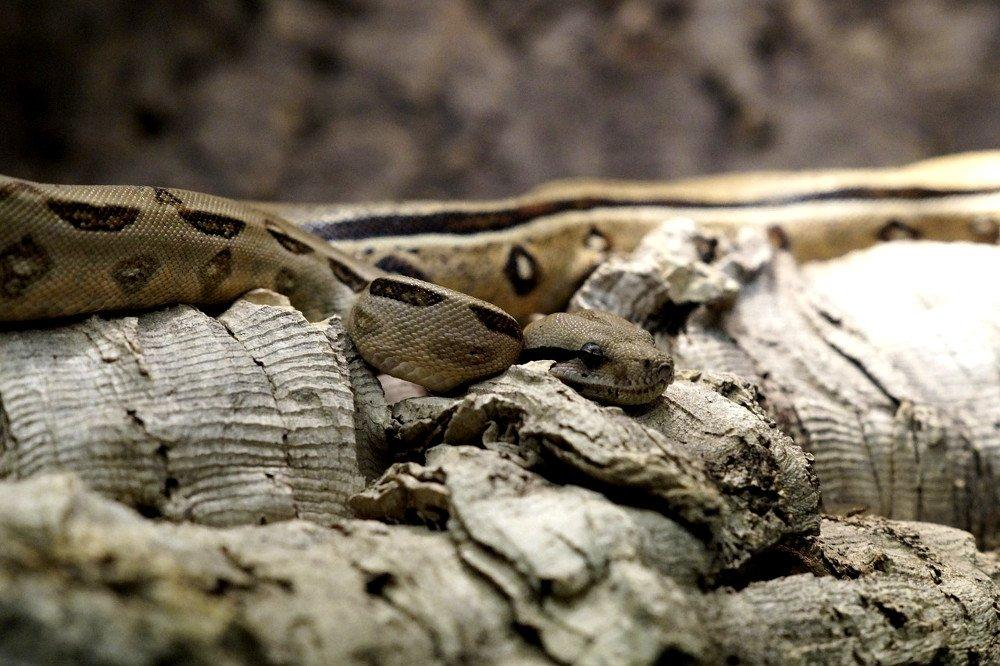 Rattlesnake Camouflage