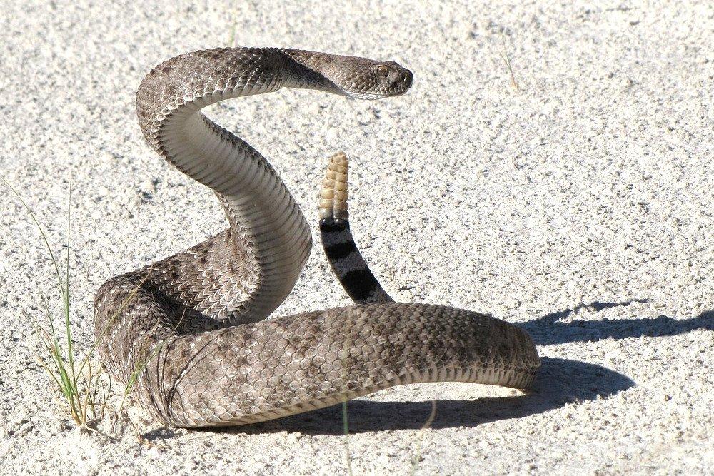 Rattlesnake rattle