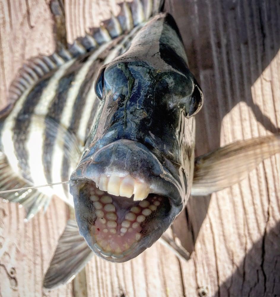 Sheepshead fish Teeth(Elonsy)s