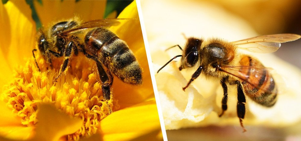 Forager bee and Worker bee