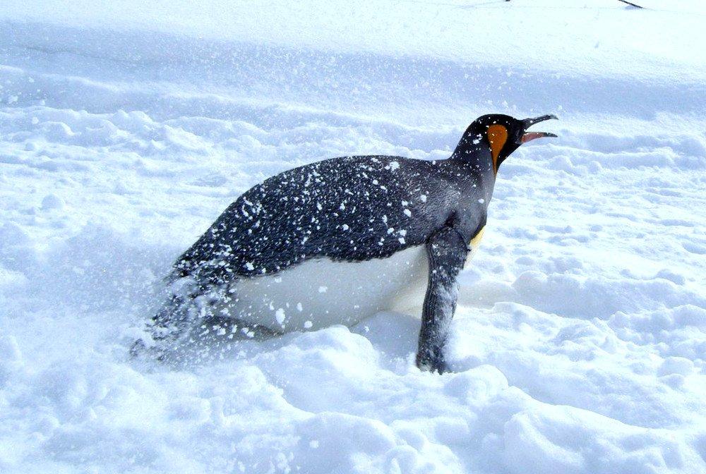 Penguin Slidding