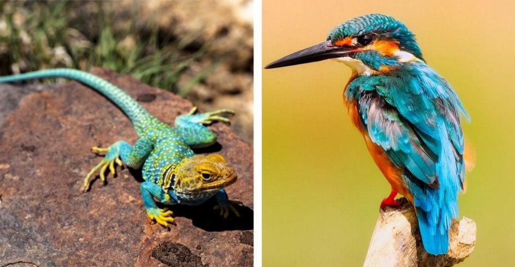 Collared Lizard & Kingfisher bird