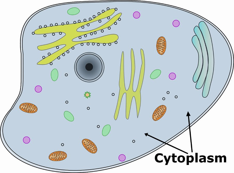 Cytoplasm in cell