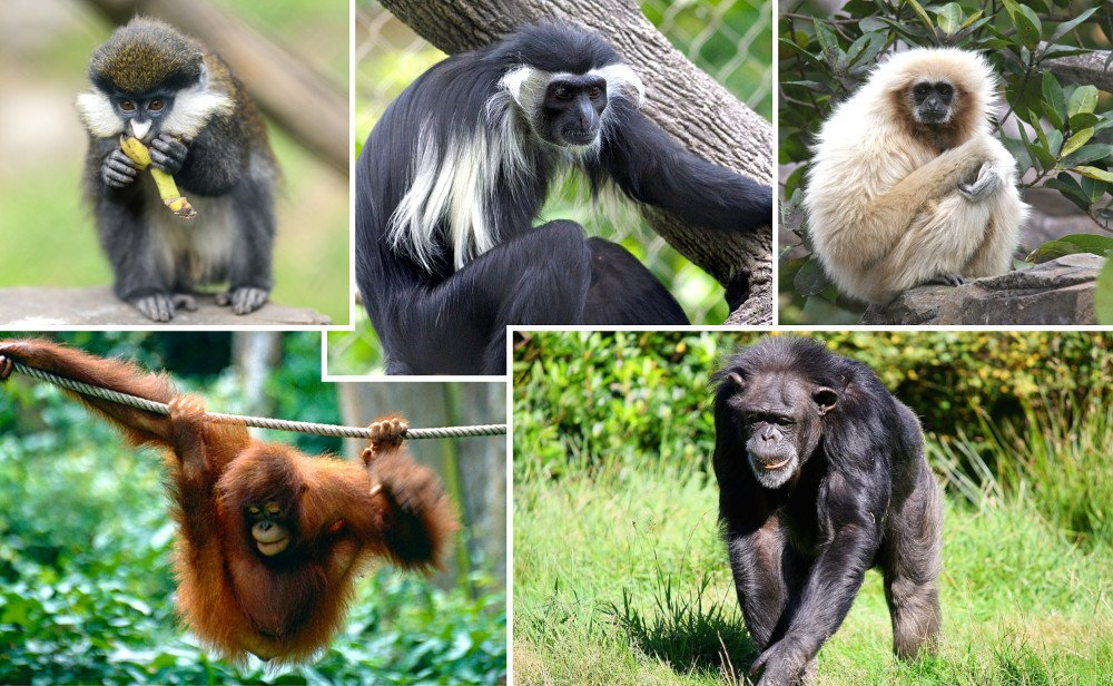 , If Humans Evolved From Apes, Why Do Apes Still Exist?, Science ABC, Science ABC