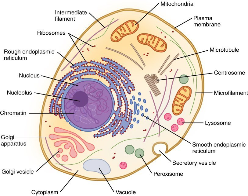 Organelles of the Cell - Animal Cell and Components