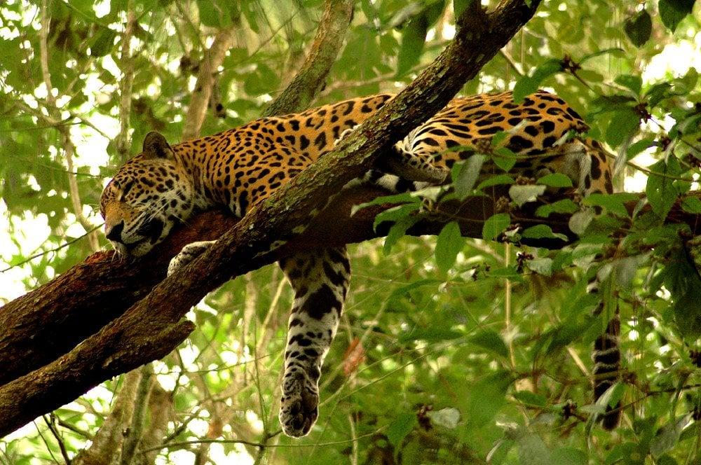 jaguar sleeping on tree