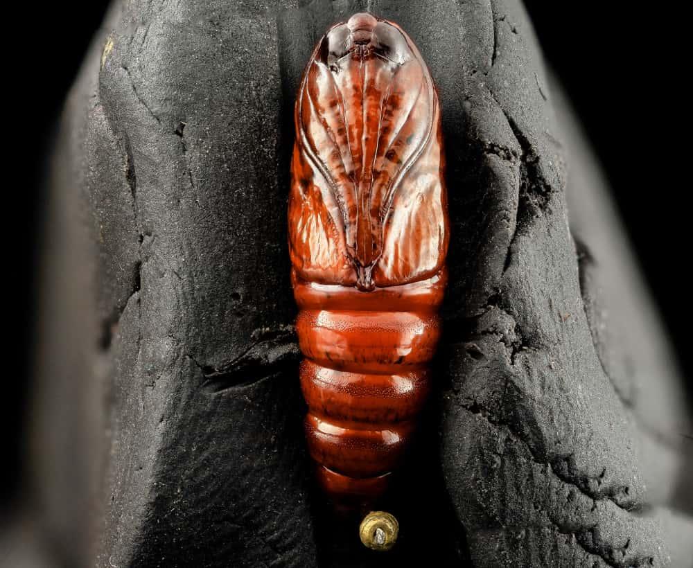 moth_pupal