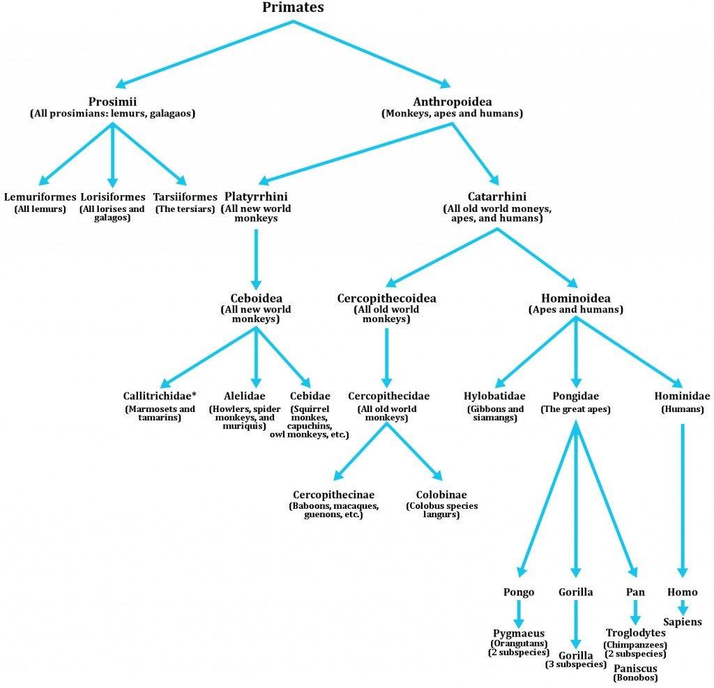 primate evolution chart