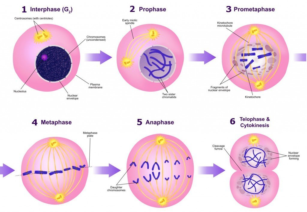 A diagram of the mitotic phases