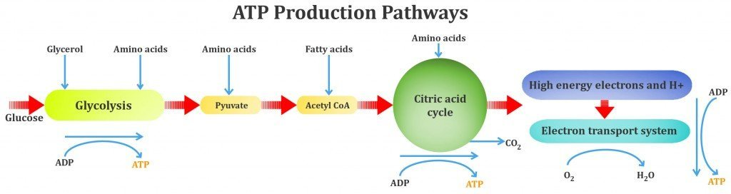 ATP Production Pathways, glycolycess, aerobic metabolism