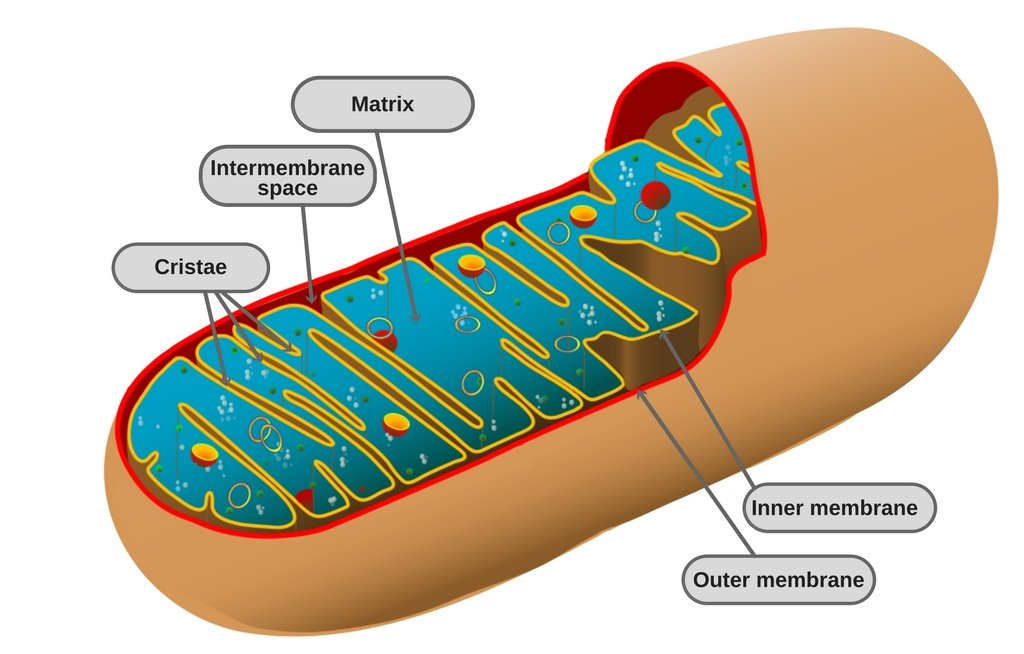 , What Are Mitochondria?, Science ABC, Science ABC