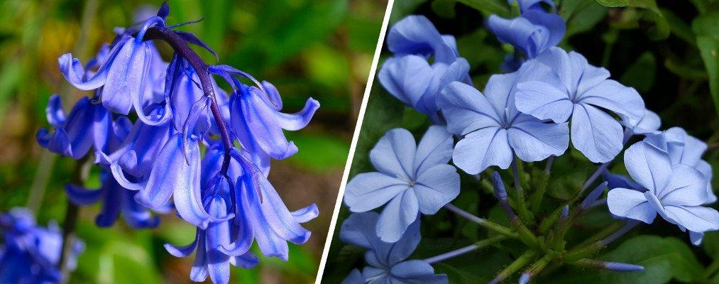 Blue bell & Blue plumbago flowers