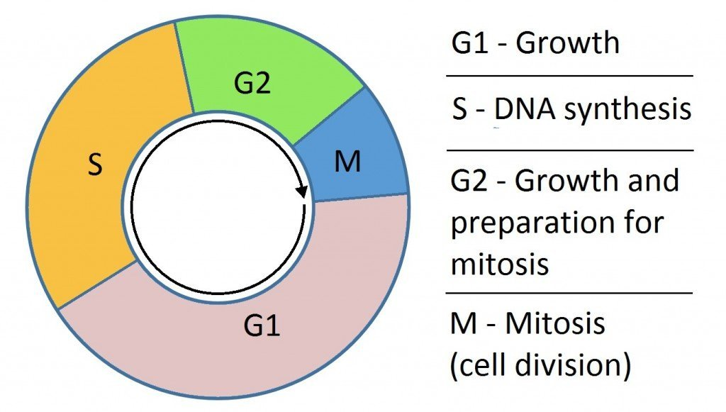 , Mitosis Vs Meiosis – How Does Cell Division Work?, Science ABC, Science ABC