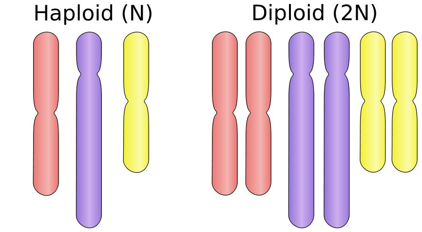 Haploid And Diploid Chromosomes