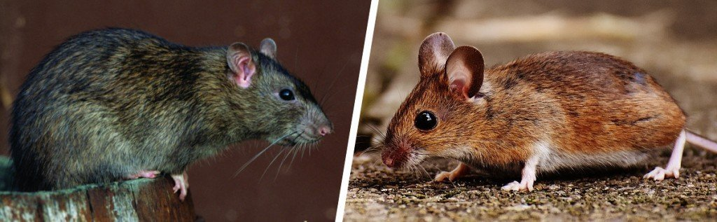 Norway rat and house mice