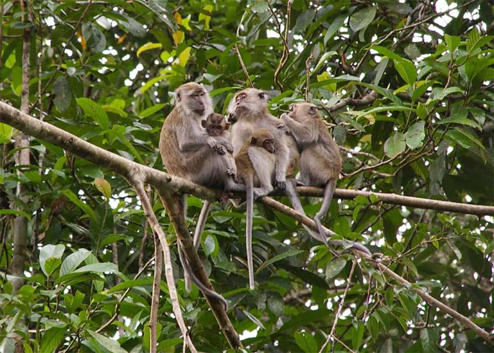 Long tail Macaque family of 5
