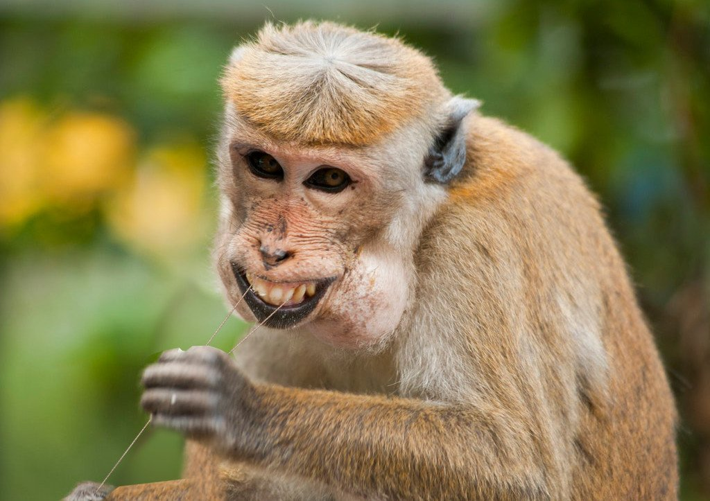 Long-tailed macaque flossing