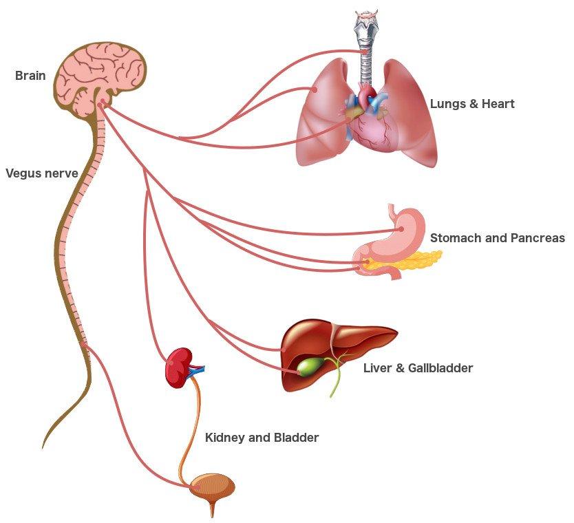 Parasympathetic System vegus nerve