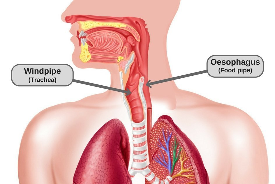 Throat oesophagus (food pipe) windpipe (trachea)