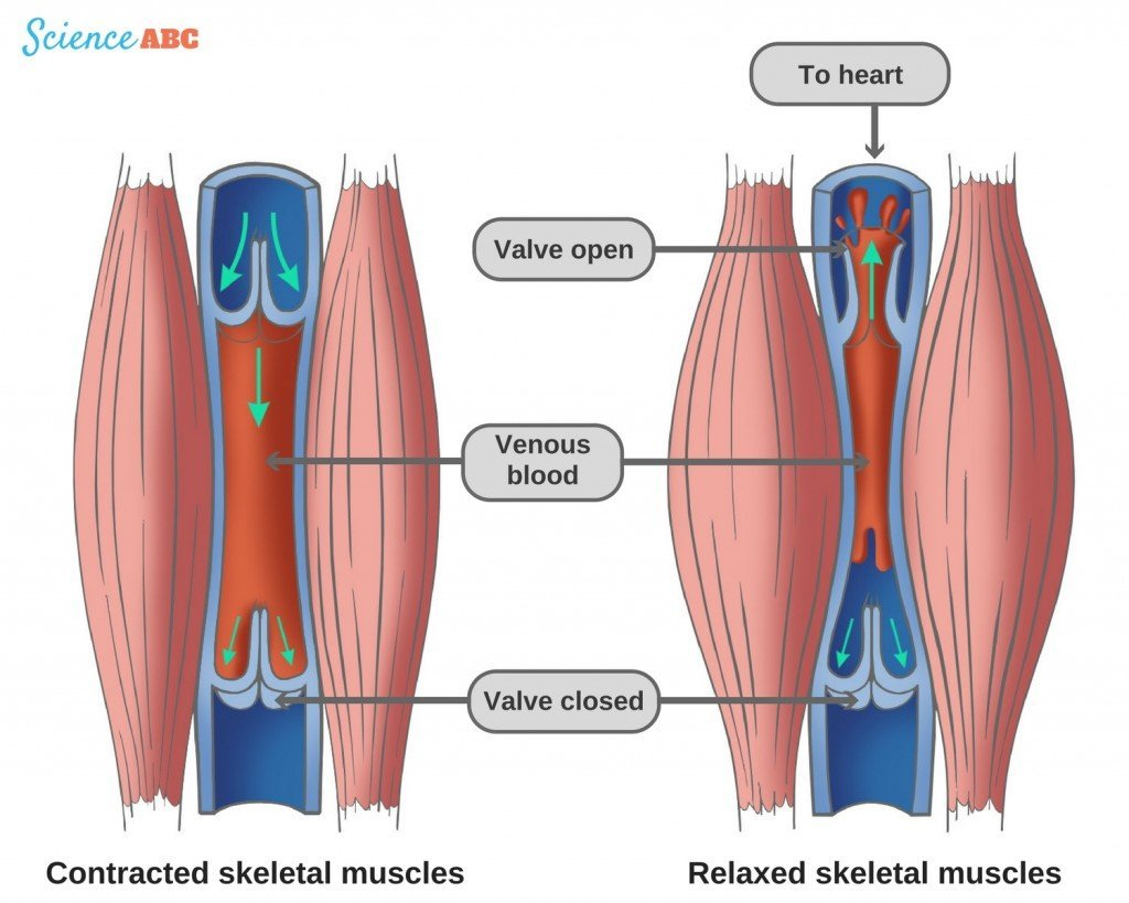Contracted skeletal muscles relaxed skeletal muscles veins venous valve blood