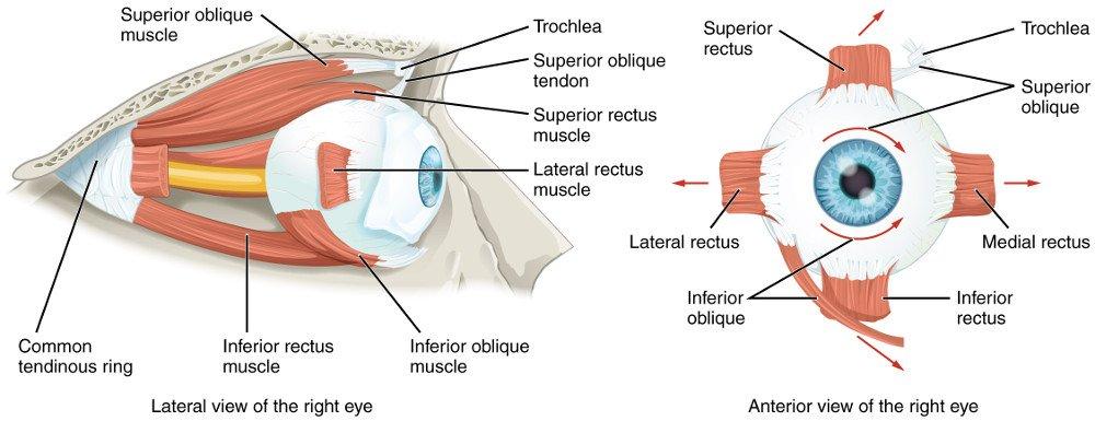 Extraocular Muscles right eye anatomy