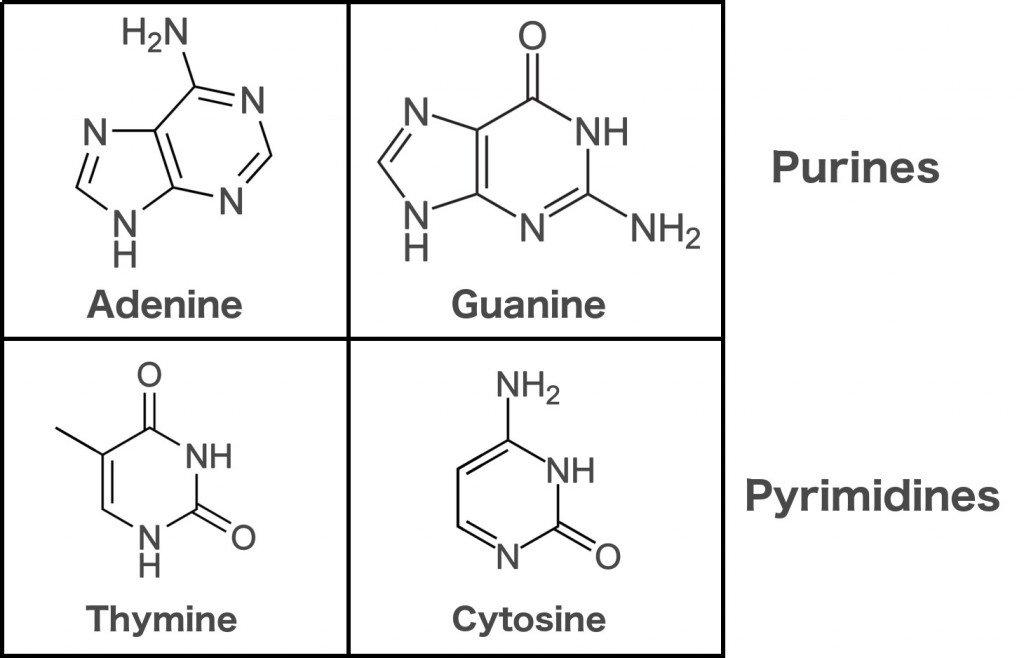 Purines pyrimidines adenine guanine thymine cytosine