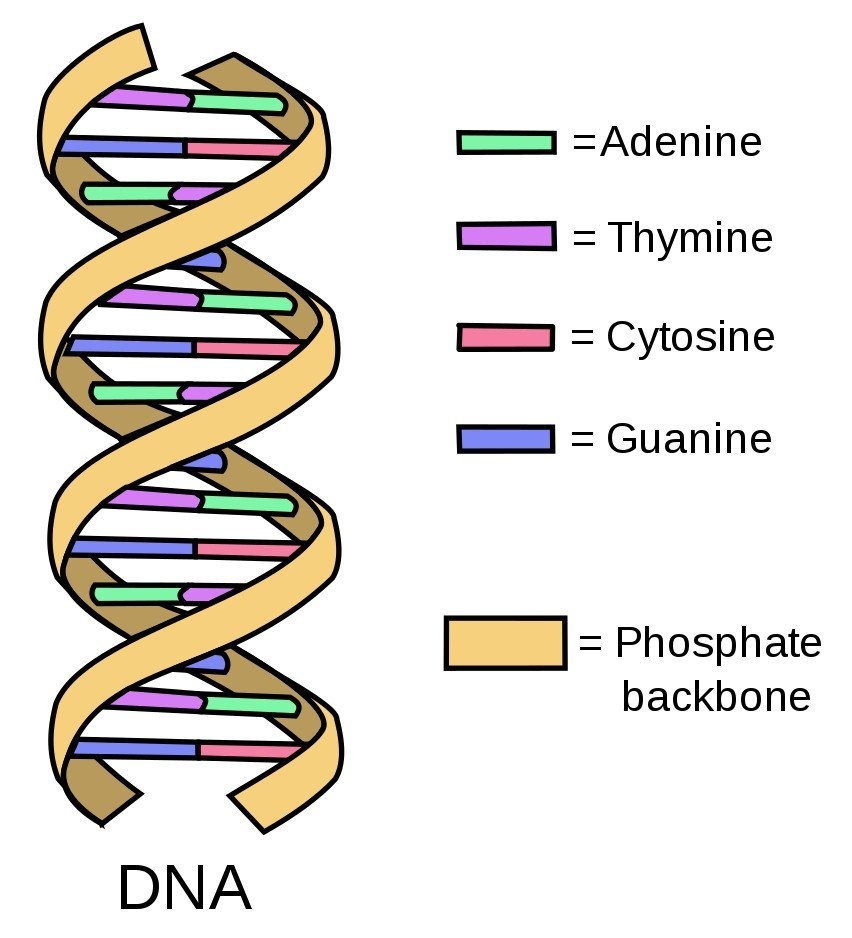 Simple diagram of double-stranded DNA