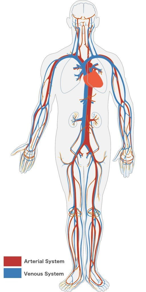 Veins & Arteries system in Human body