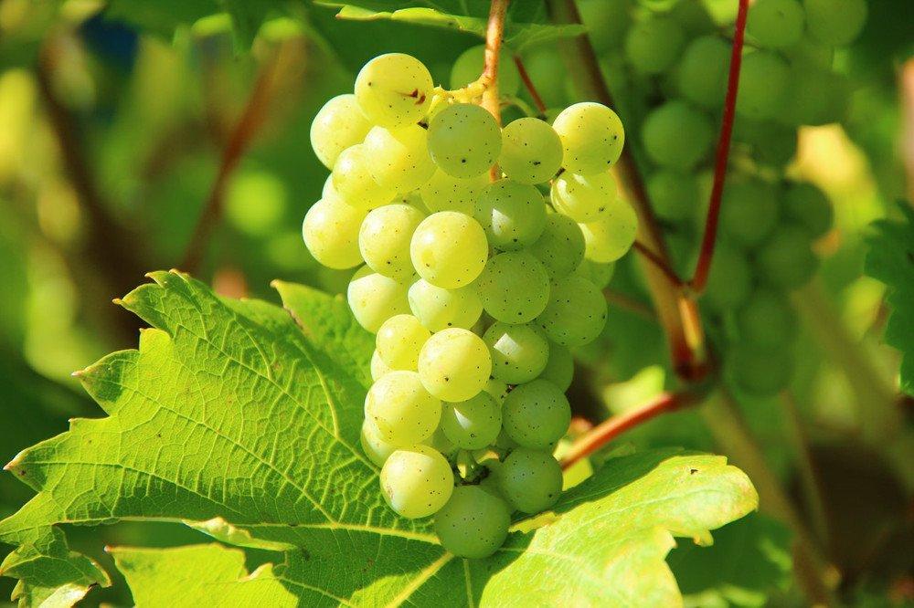 Grapes vineyard wine fruit