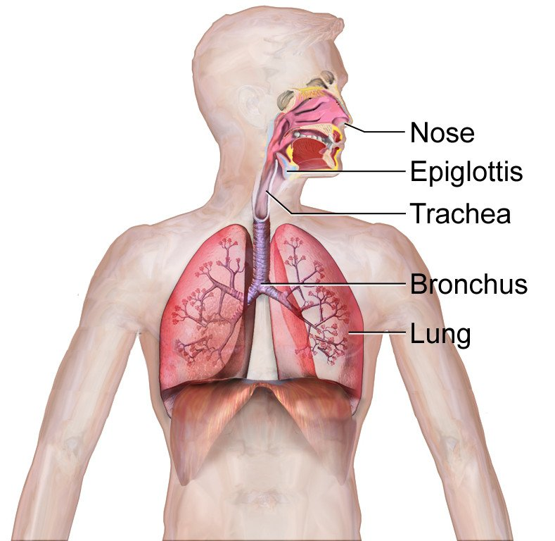 Respiratory System (Illustration)
