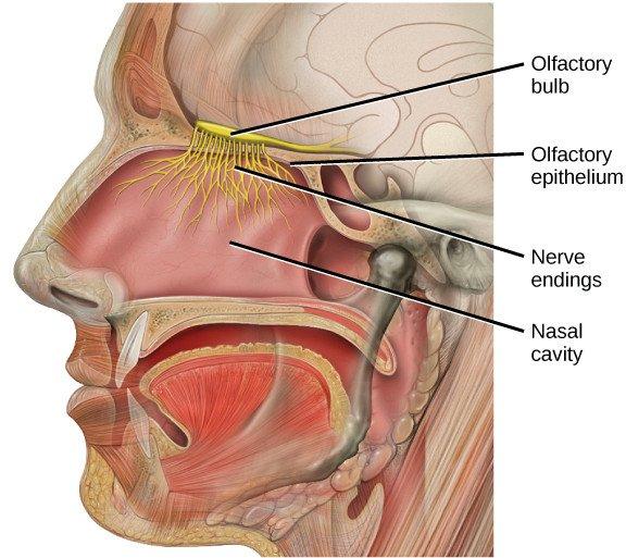 Bipolar neuron Olfactory bulb olfactory epithelium nerve endings nasal cavity