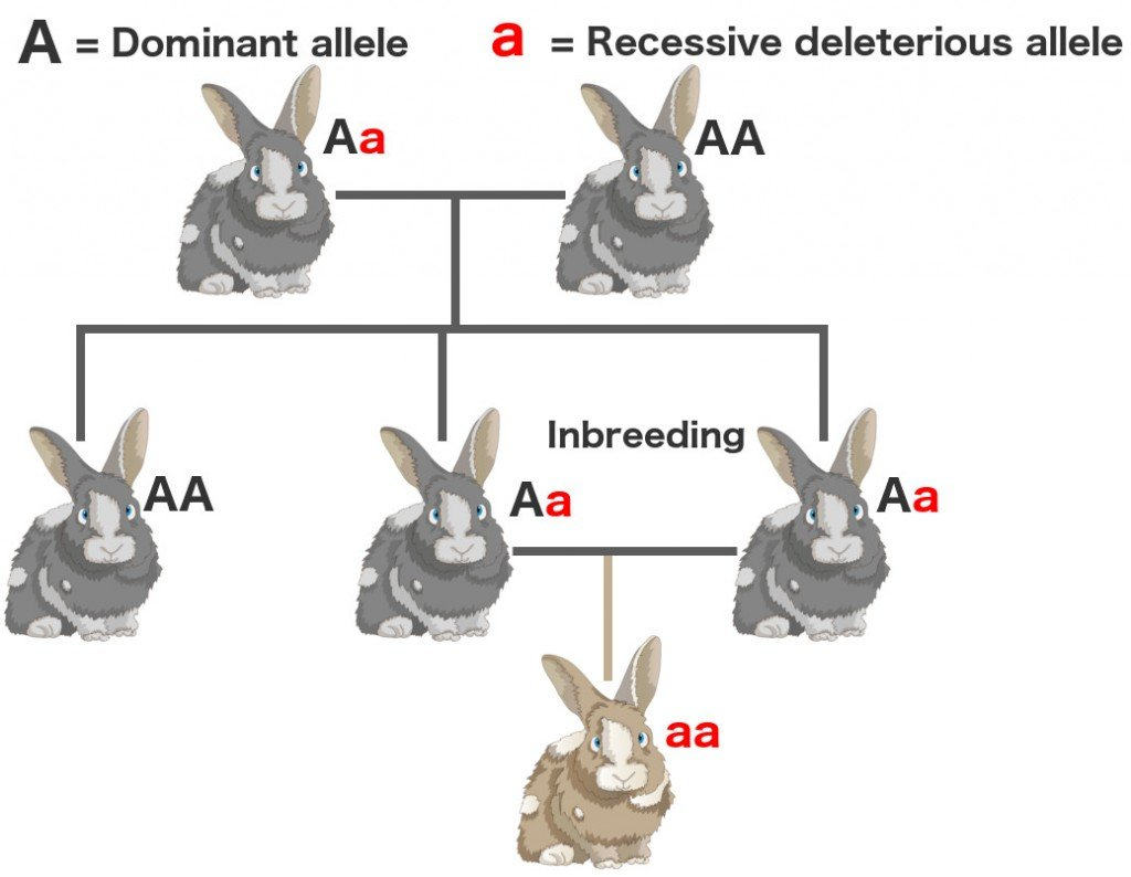 Dominant recessive allele gene inbreeding