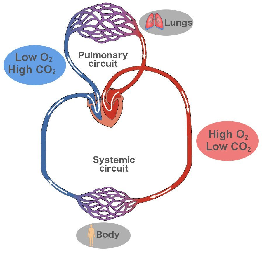 Double circuit pulmonary & systemic