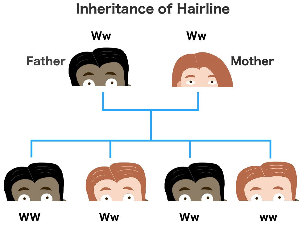 Inheritance of hairline