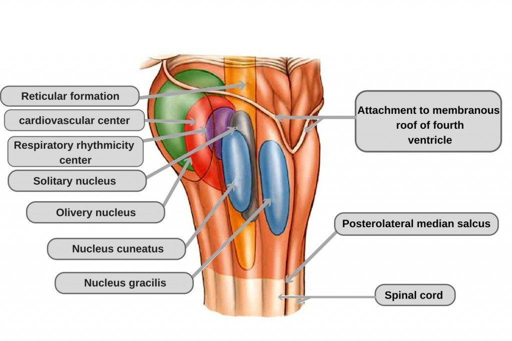 Internal anatomy of the medulla