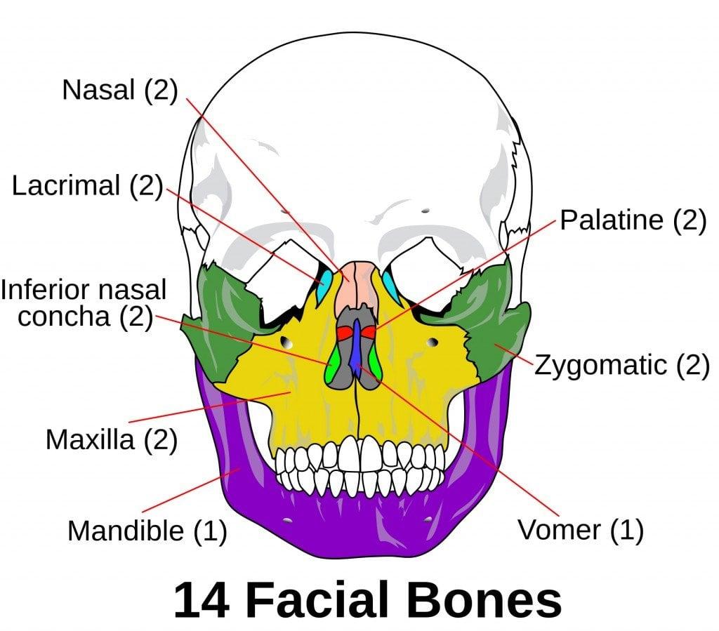 Facial skeleton
