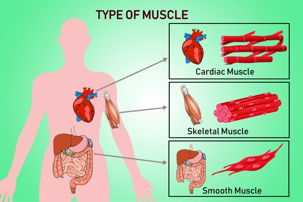 type of muscle