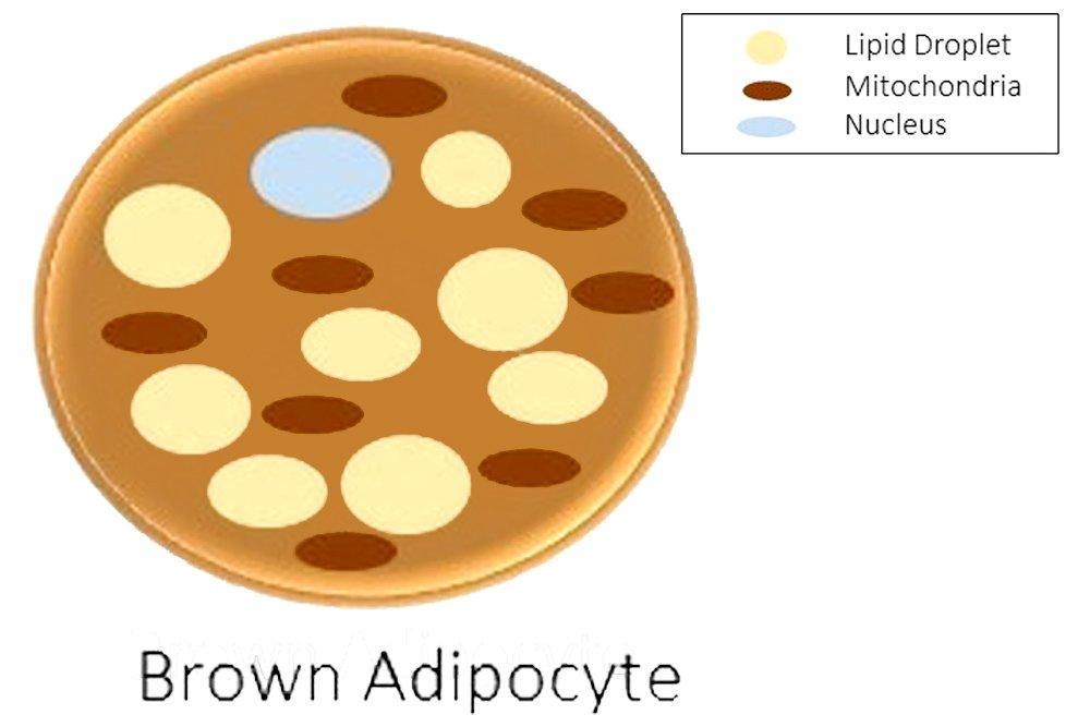brown adipocyte
